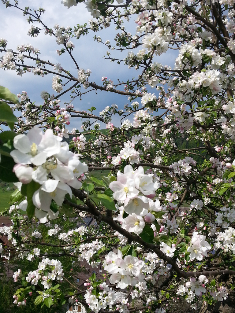 Apfelblüte